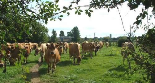 modbury-herd-in-dairy-field.jpg