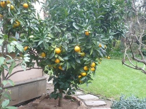 Our orange tree Dec 7, 2008